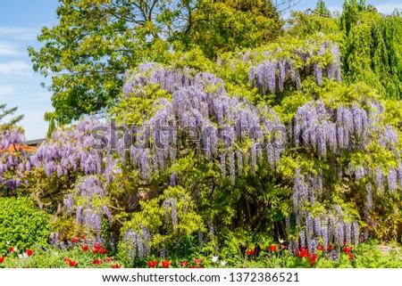 Chinese Wisteria and Japanese Wisteria Floribunda Macrobotrys bloom. #1372386521