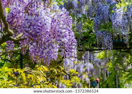 Chinese Wisteria and Japanese Wisteria Floribunda Macrobotrys bloom. #1372386524