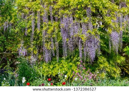 Chinese Wisteria and Japanese Wisteria Floribunda Macrobotrys bloom. #1372386527