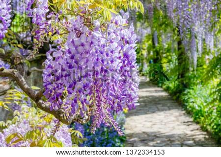 Chinese Wisteria and Japanese Wisteria Floribunda Macrobotrys bloom in garden #1372334153