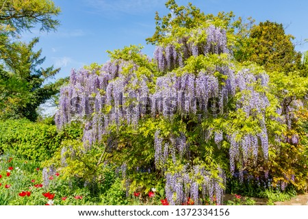 Chinese Wisteria and Japanese Wisteria Floribunda Macrobotrys bloom in garden #1372334156