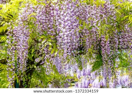 Chinese Wisteria and Japanese Wisteria Floribunda Macrobotrys bloom in garden #1372334159