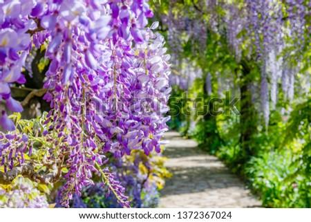 Chinese Wisteria and Japanese Wisteria Floribunda Macrobotrys blossom #1372367024