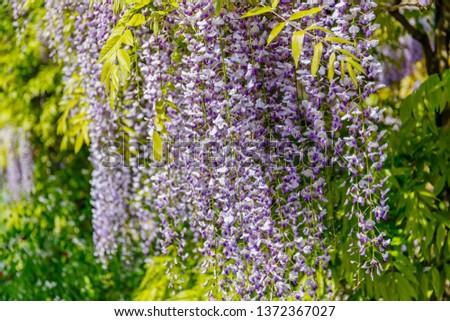Chinese Wisteria and Japanese Wisteria Floribunda Macrobotrys blossom #1372367027