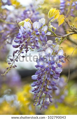 Chinese Wisteria or Wisteria sinensis flowering  in spring - stock photo