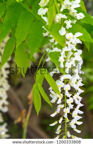 Chinese wisteria, ( Wisteria sinensis) or Wisteria sinensis 'Alba' racemes of pure white, pea like flowers with green leaves #1200333808