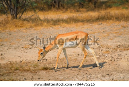 Chinkara or Indian gazelle in the forest. #784475215