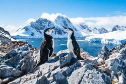 Chinstrap penguin, Antarctica, January 2019