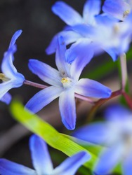Chionodoxa Luciliae or Glory Of The Snow, striking spring flowers. Blue blossoms like little stars. Lucile's glory in the dark blurred background. Scilla in the Asparagaceae family. Macro photography.