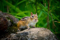 Chipmunk collecting seeds for winter