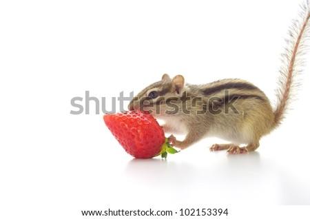 Chipmunk eating a strawberry