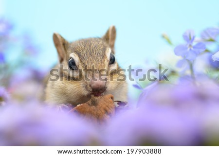 Chipmunk eating a walnut in flower garden.