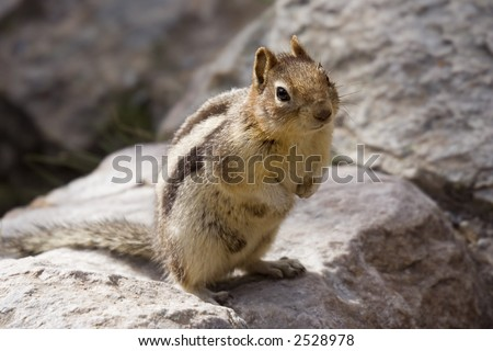 chipmunk on a rock - banff national park, canada