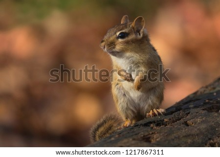 chipmunk on log autumn