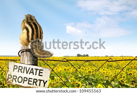 Chipmunk sits on a fence near sunflowers field, interdiction concept - stock photo