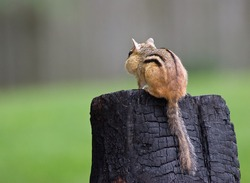Chipmunk sitting on a stump
