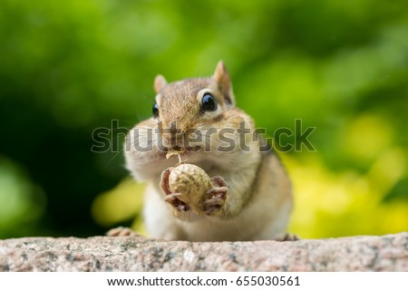 chipmunk stuffing nuts inside...