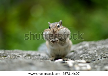 chipmunk with cheeks full of...