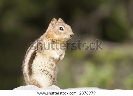 chipmunks profile - banff national park, canada