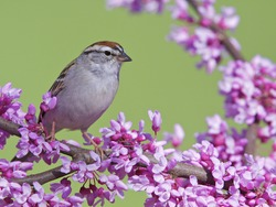 Chipping Sparrow Perched in a Flowering Eastern Redbud Tree