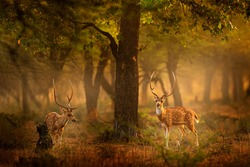 Chital deer from RAnthambore NP, India in Asia. Chital or cheetal, Axis axis, spotted deers or axis deer in nature habitat. Bellow majestic two powerful adult animals.