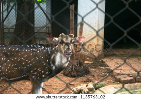 Chital or Cheetal a Spotted Dear in Zoo #1135763102
