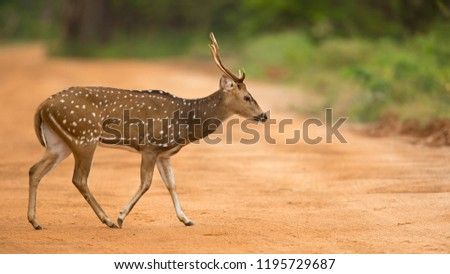 Chital or cheetal (Axis axis), also known as spotted deer or axis deer, is a species of deer that is native in the Indian subcontinent.