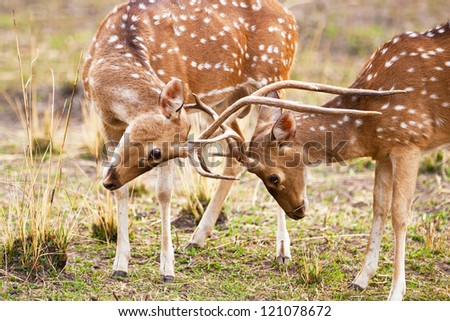 Chital or cheetal deers (Axis axis), also known as spotted deer or axis deer in the Bandhavgarh National Park in India. Bandhavgarh is located in Madhya Pradesh.