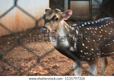 Chital or Cheetal The Spotted Dear in Zoo. #1135797326