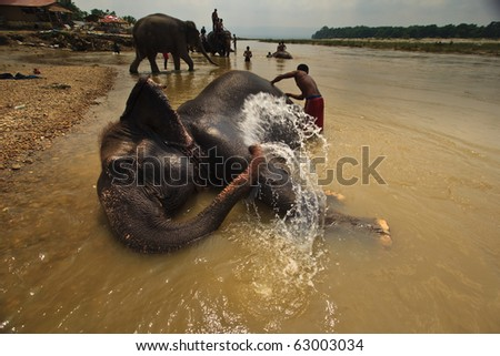 CHITWAN NATIONAL PARK, SAURAHA, NEPAL- CIRCA SEPTEMBER 2009: Unidentified men wash protected Asian Elephant (Proboscidea Elephas maximus) in river circa September 2009 Chitwan National Park, Nepal.