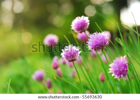 Chive flowers in a garden