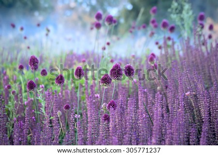 Chive herb flowers - Allium sphaerocephalon  on beautiful blur background. - stock photo