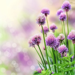 Chive herb flowers on beautiful bokeh background. Very shallow DOF.