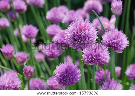 Chive plants in full bloom.  Closeup with shallow dof.  Selective focus on closest blossom.