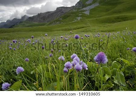 Chives - Allium schoenoprasum Growing in Hahnenmoospass, Switzerland