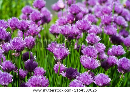 Chives Allium schoenoprasum, in the home gardens. In culinary use, osprey and unopened immature flower buds are cut into cubes and used as an ingredient for fish, potatoes, soups #1164339025