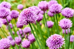 Chives or Allium Schoenoprasum in bloom with purple violet flowers and green stems. Chives is an edible herb for use in the kitchen.