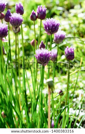 Chives, scientific name Allium schoenoprasum, A perennial plant, it is widespread in nature across much of Europe, Asia, and North America. The plant provides a great deal of nectar for pollinators. #1400383316