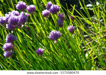 Chives, scientific name Allium schoenoprasum, A perennial plant, it is widespread in nature across much of Europe, Asia, and North America. The plant provides a great deal of nectar for pollinators. #1575080470