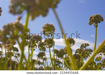 Chives with Flowers in the blue sky background. #1534455668
