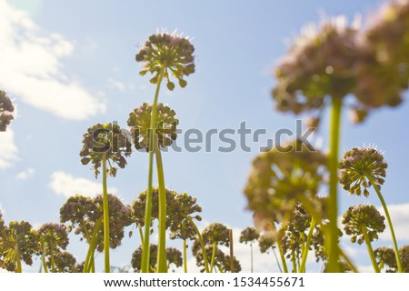 Chives with Flowers in the blue sky background. #1534455671
