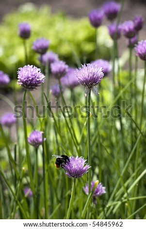 chives with purple blooms