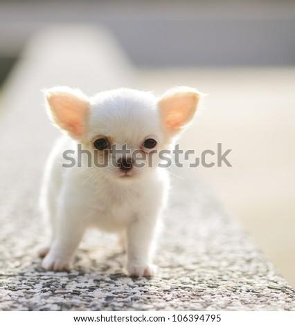 chiwawa white puppy