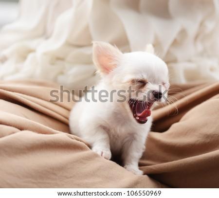 chiwawa white puppy dog pet