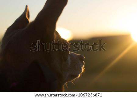 Chiweenie at Sunset. #1067236871