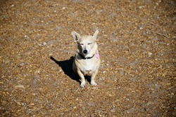 Chiweenie is a mixed breed dog–a cross between the Chihuahua and Dachshund dog breeds sitting happily in the afternoon sun.