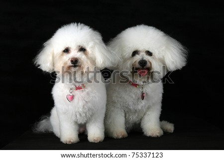 Chloe (left) and Jolie (right) both pure breed Bichon Frise dogs and best friends smile as they pose for photos while isolated on black velvet with room for your text