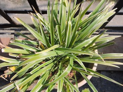 Chlorophytum comosum Ocean is a compact spider plant, looking a little like Variegatum, with creamy margins and a green centre. It is an attractive, cascading plant, with small white flowers
