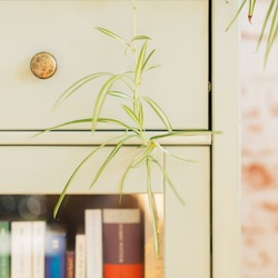 Chlorophytum Comosum offshoot in front of mint green shelf background.