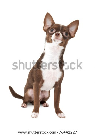 Chocolate brown with white Chihuahua dog looking up isolated on white background
